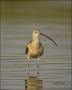 Long-billed-Curlew;Curlew;Southeast-USA;Numenius-americanus;shorebirds;one-anima