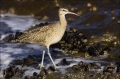 California;Whimbrel;Southwest-USA;Numenius-phaeopus;shorebirds;one-animal;close-