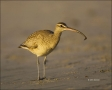 Whimbrel;California;Southwest-USA;Numenius-phaeopus;one-animal;close-up;color-im