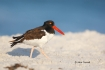 American-Oystercatcher;Animals-in-the-Wild;Haematopus-palliatus;Mud-Flat;Oysterc