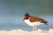 American-Oystercatcher;Animals-in-the-Wild;Haematopus-palliatus;Mud-Flat;Photogr