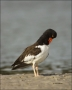 American-Oystercatcher;Oystercatcher;Haematopus-palliatus;shorebirds;one-animal;