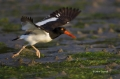 American-Oystercatcher;Oystercatcher;Flight;Haematopus-palliatus;shorebirds;one-