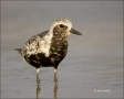Florida;Black-bellied-Plover;Plover;Pluvaialis-squatarola;shorebirds;one-animal;