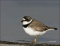 Plover;Florida;Shorebird;Semipalmated-Plover;Charadrius-semipalmatus;shorebirds;