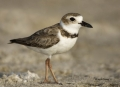 Wilsons-Plover;Plover;Florida;Southeast-USA;Charadrius-wilsonia;shorebirds;one-a