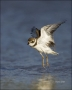 Semipalmated-Plover;Plover;Charadrius-semipalmatus;shorebirds;one-animal;close-u