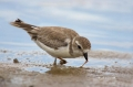Piping-Plover;Plover;Florida;Southeast-USA;Charadrius-melodus;Endangered-species
