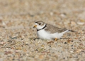 Plover;Charadrius-melodus;Piping-Plover;Nest;Nesting;Breeding-Behavior;Breeding-