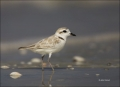 Snowy-Plover;Plover;Florida;Southeast-USA;Charadrius-alexandrinus;shorebirds;one