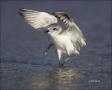 Snowy-Plover;Plover;Charadrius-alexandrinus;shorebirds;one-animal;close-up;color