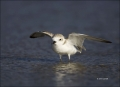 Snowy-Plover;Plover;Charadrius-alexandrinus;shorebirds;one-animal;close-up;color