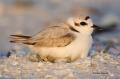 Snowy-Plover;Plover;Charadrius-alexandrinus;Nest;Nesting;Eggs;parent;bond;bondin