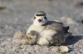 Snowy-Plover;Plover;Charadrius-alexandrinus;Chick;Nest;Nesting;parent;chick;bond