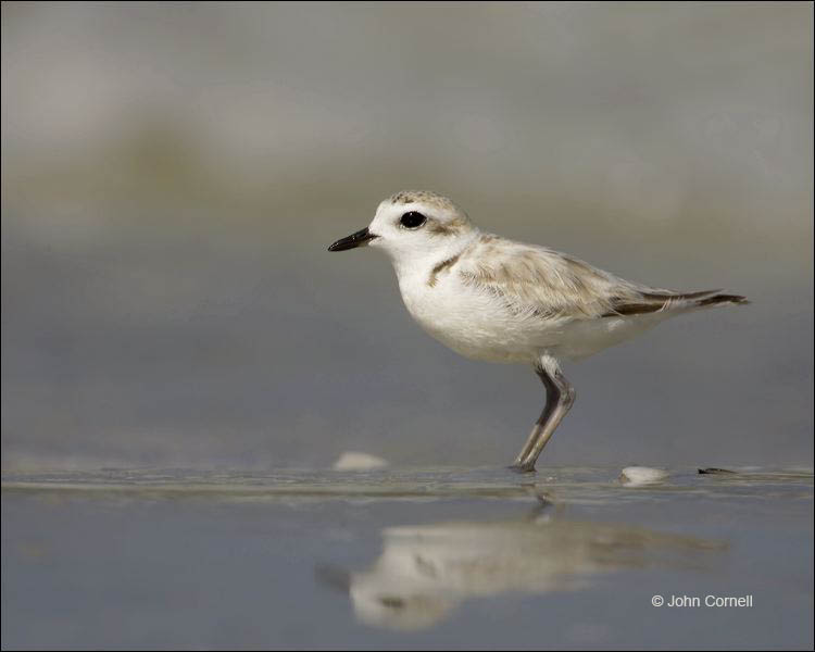 Snowy Plover;Plover;Florida;Southeast USA;Juvenile;Charadrius alexandrinus;shorebirds;one animal;close-up;color image;nobody;photography;day;birds;animals in the wild;beach;mud flat;foraging;water;Shorebird;outdoors;Wildlife;Mud Flat;waders;closeup;close up;wildlife;bird;feeding;shallows;color photograph;Sand