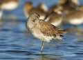 Red-Knot;Florida;Southeast-USA;Calidris-canutus;Sleeping;shorebirds;one-animal;c
