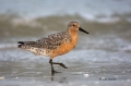 Red-Knot;Calidris-canutus;Shorebird;shorebirds;closeup;color-image;photography;d