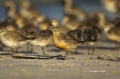 Red-Knot;Knot;Calidris-canutus;Flock;close-up;color-image;photography;day;outdoo