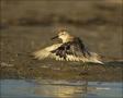 Red-Knot;Knot;Calidris-canutus;shorebirds;one-animal;close-up;color-image;nobody