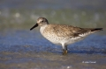 Red-Knot;Knot;Calidris-canutus;shorebirds;one-animal;close-up;color-image;nobody