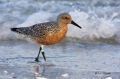 Red_Knots