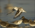Florida;Sanderling;Southeast-USA;Calidris-alba;shorebirds;one-animal;close-up;co