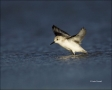 Sanderling;Flight;Calidris-alba;shorebirds;one-animal;close-up;color-image;nobod