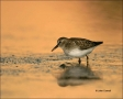 Least-Sandpiper;Sandpiper;Calidris-minutilla;shorebirds;one-animal;close-up;colo