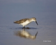 Western-Sandpiper;Sandpiper;Florida;Southeast-USA;Calidris-mauri;shorebirds;one-