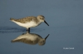 Florida;Southeast-USA;Western-Sandpiper;Sandpiper;Calidris-mauri;shorebirds;one-