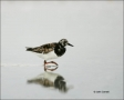 Ruddy-Turnstone;Turnstone;shorebirds;one-animal;close-up;color-image;nobody;phot