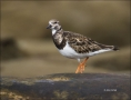 California;USA;Ruddy-Turnstone;Turnstone;Arenaria-interpres;one-animal;close-up;