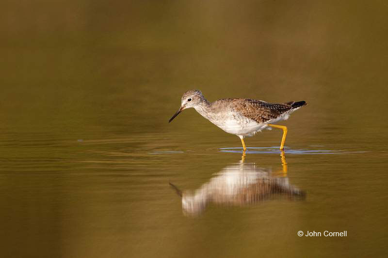 Lesser Yellowlegs;Yellowlegs;Tringa flavipes;Shorebird;shorebirds;closeup;color image;photography;day;outdoors;wildlife;bird;birds;animals in the wild;mud flat;beach;water;foraging;feeding;Foraging;Reflection