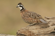 Quail;Male;Southwest-USA;Texas;Northern-Bobwhite;Colinus-virginianus;one-animal;