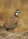 Male;Quail;Southwest-USA;Texas;Northern-Bobwhite;Colinus-virginianus;one-animal;