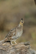 Quail;Female;Southwest-USA;Texas;Northern-Bobwhite;Colinus-virginianus;one-anima