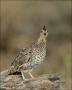 Quail;Female;Southwest-USA;Texas;Northern-Bobwhite;Colinus-virginianus;one-anima