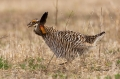 Greater_Prairie_Chicken