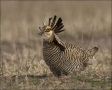 Greater-Prairie-Chicken;Prairie-Chicken;Minnesota;Male;Breeding-Display;Tympanuc