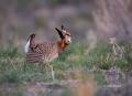 Greater_Prairie_Chicken
