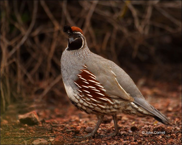 Gambel's Quail;Quail;Callipepla gambelii;one animal;close-up;color image;nobody;photography;day;outdoors. Wildlife;birds;animals in the wild