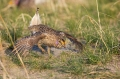 Grouse;Tympanuchus-phasianellus;Sharp-tailed-Grouse;One;one-animal;avifauna;bird