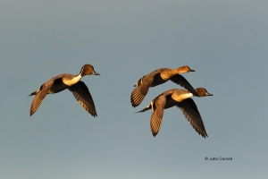 Anas-acuta;Breeding-Behavior;Breeding-Display;California;Duck;Llano-Seco-NWR;Nor