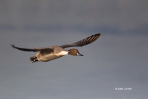 Anas-acuta;California;Duck;Llano-Seco-NWR;Northern-Pintail;One;avifauna;bird;bir