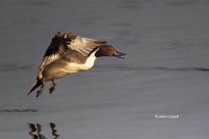 Anas-acuta;California;Colusa-National-Wildlife-Refuge;Duck;Northern-Pintail;One;