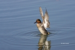 Anas-crecca;Duck;Green-winged-Teal;One;Teal;avifauna;bird;birds;color-image;colo