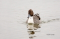 Anas-acuta;Duck;Japan;Northern-Pintail;One;avifauna;bird;birds;color-image;color