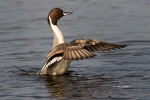 Anas-acuta;Duck;Male;Northern-Pintail;One;Wing-Stretch;avifauna;bird;birds;color