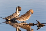 Anas-acuta;Blue-Water;Duck;Female;Male;Northern-Pintail;Preening;Reflection;Wate