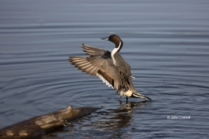 Anas-acuta;California;Colusa-National-Wildlife-Refuge;Duck;Northern-Pintail;one-